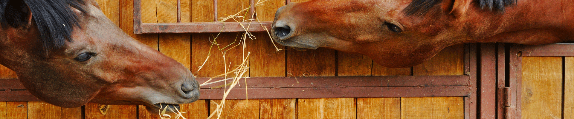 5 Golden Rules Of Feeding Older Horses Allen Amp Page